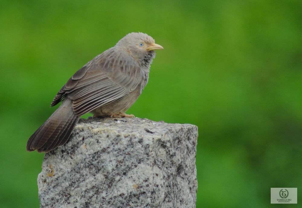 Cute bird by Tamil Guru