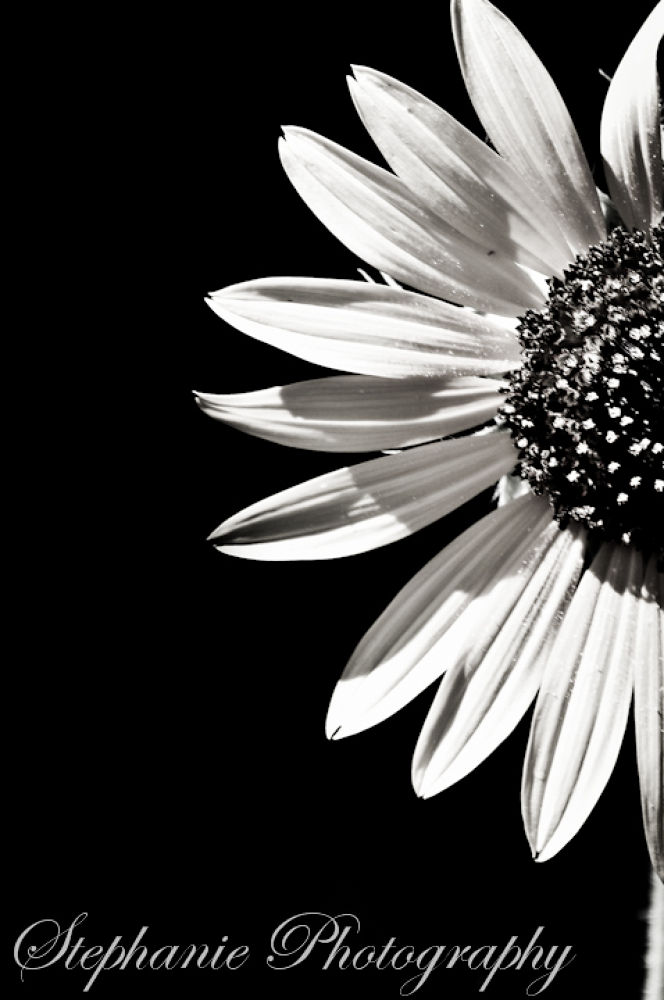 Sunflower by stephaniephotography