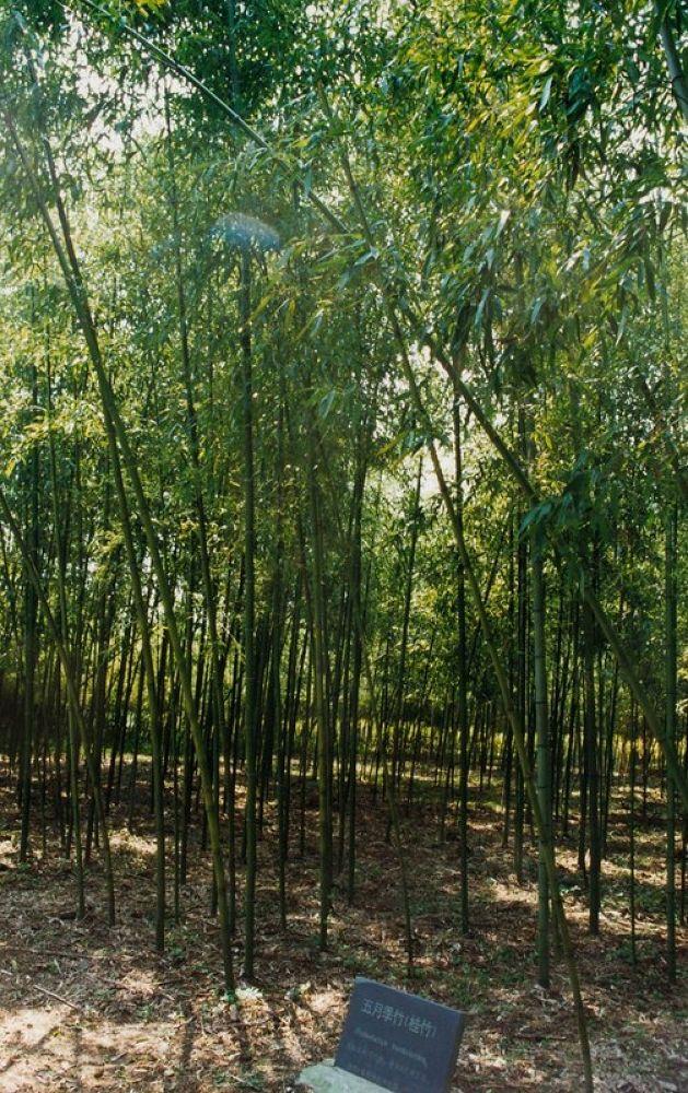 11.Zhejiang_Anji_Bamboo_Garden (Phyllostachys Babusoides) 1998-117 by Arie Boevé