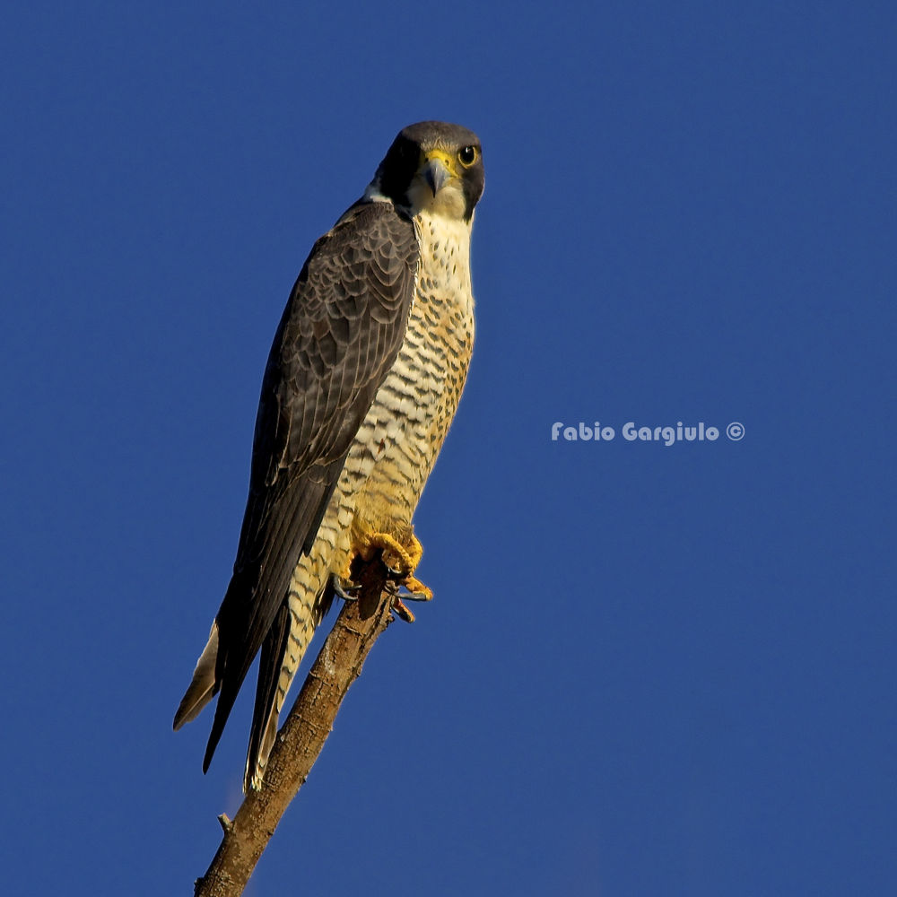 Falco peregrinus by Fábio Gargiulo