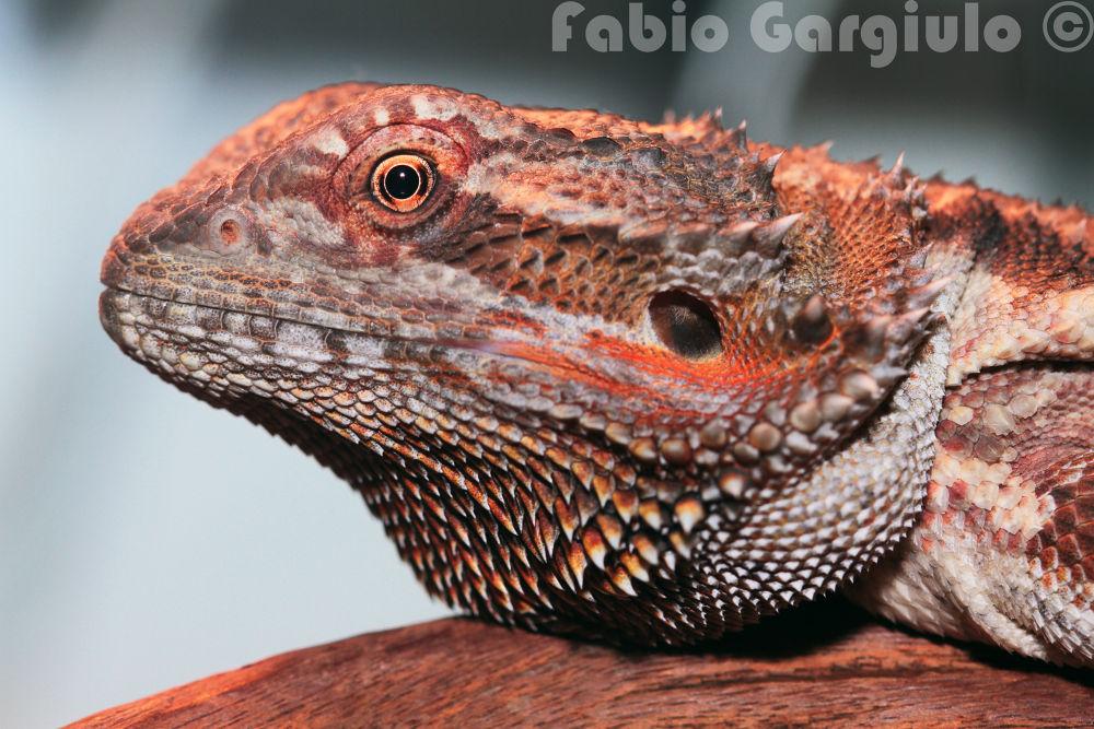 Pogona vitticeps (little dragon) by Fábio Gargiulo