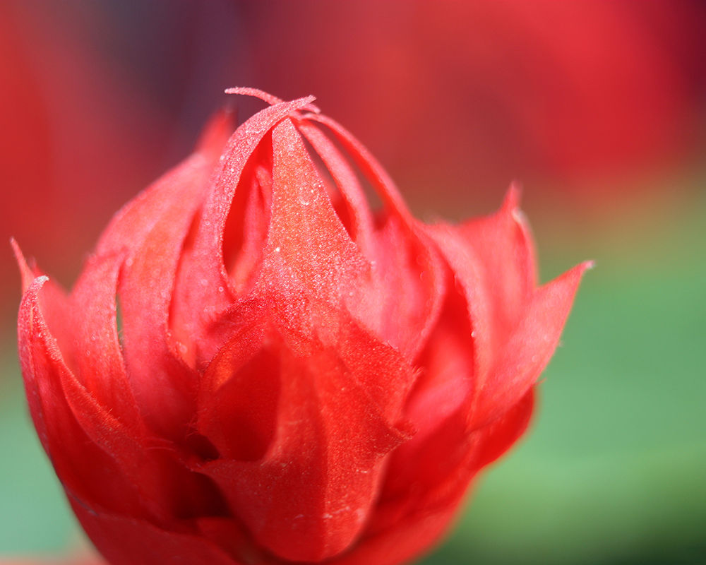 Red Flower by SalehFuad