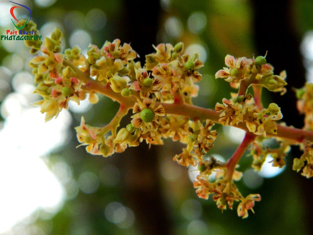 Mango Tree Flower by FaizKhazi