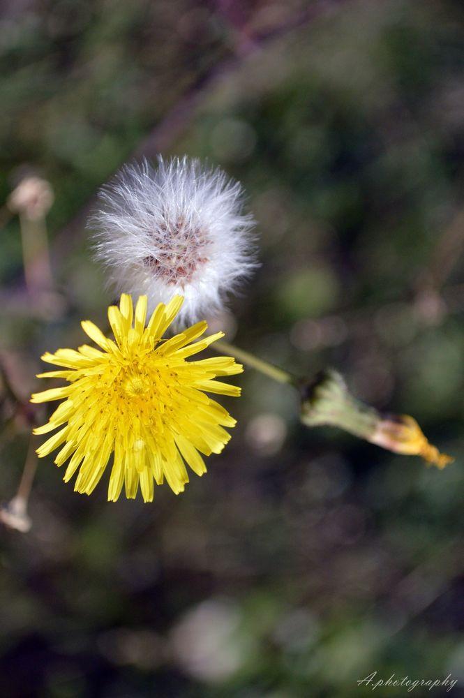 Photo in Nature #dandelion #dandelion flower #flower #nature #2'13 #nikon #croatia