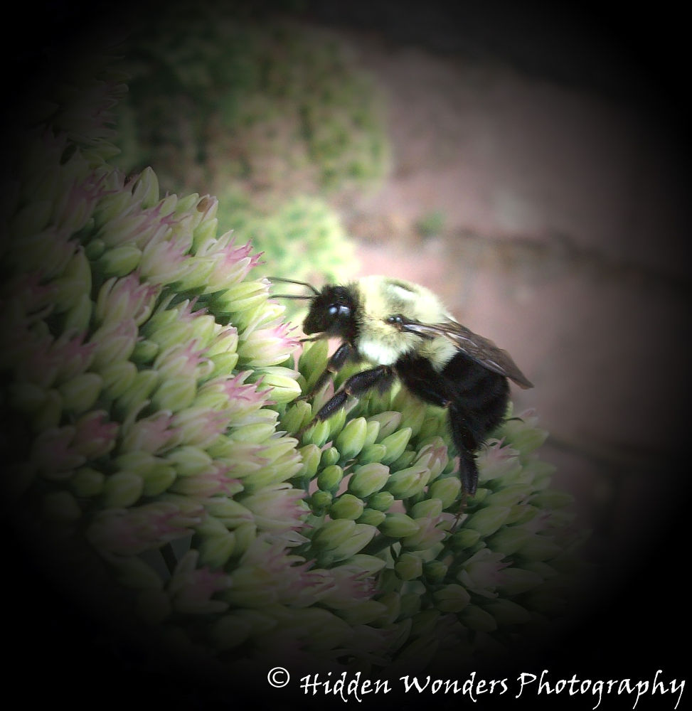 Photo in Macro #bumble #bumble bee #nature #insect #pollination #macro #hidden wonder #natural beauty #wildlife #black #yellow #flowers