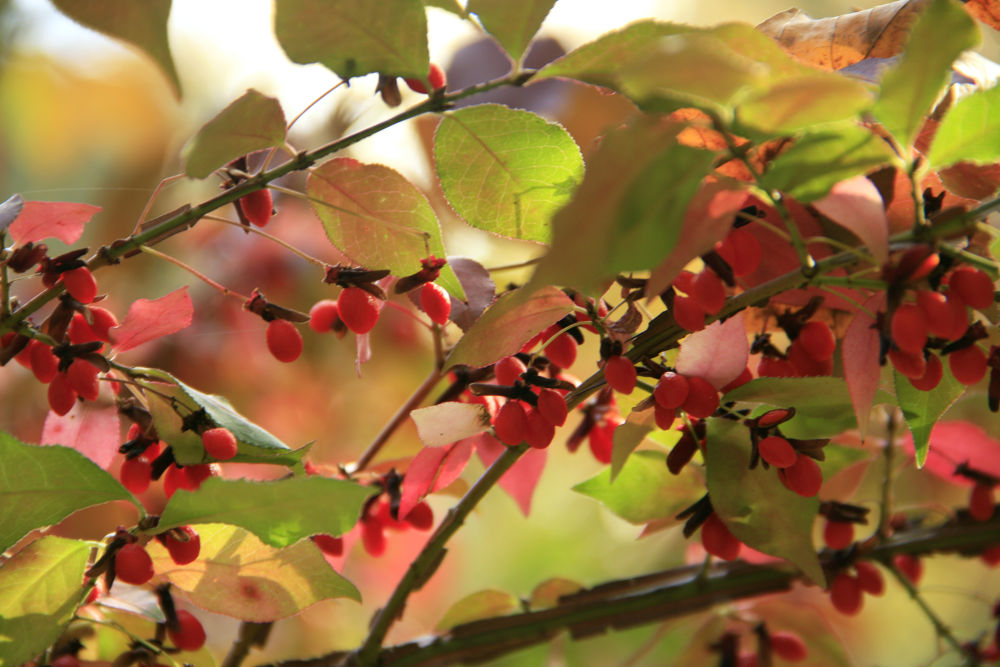 Photo in Nature #wildlife #trees #leaves #fall #fall leaves #color changing #nature #hidden wonder #berries #branches #branch #colorful leaves #fall time