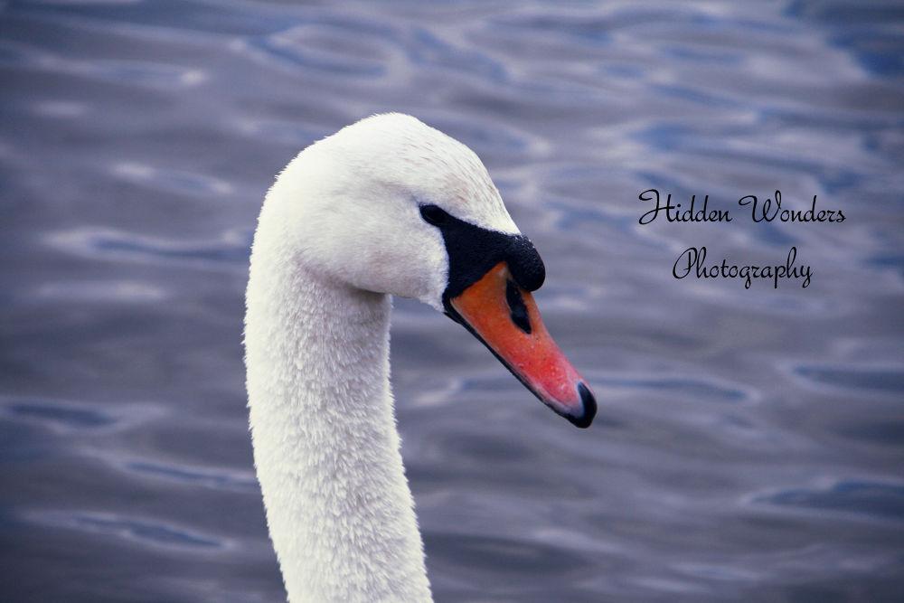 swan by Hidden Wonders