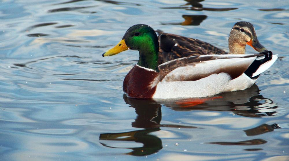 A Couple of Ducks by Hidden Wonders