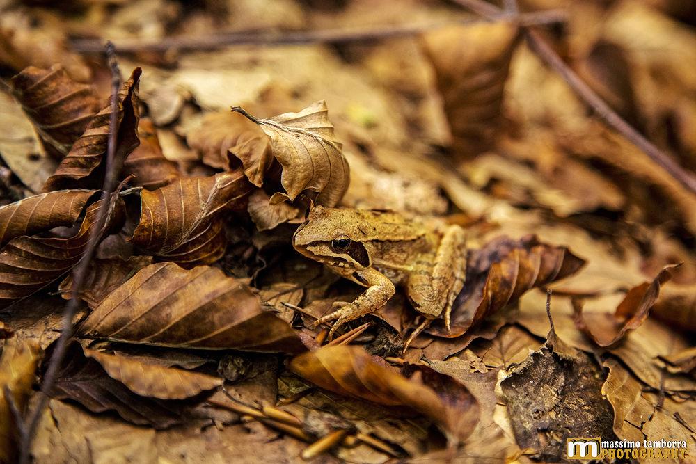 Photo in Nature #www.massimotamborra.it #nature #frog #calabria #italy #brown #mountain #autumn #animal #animals