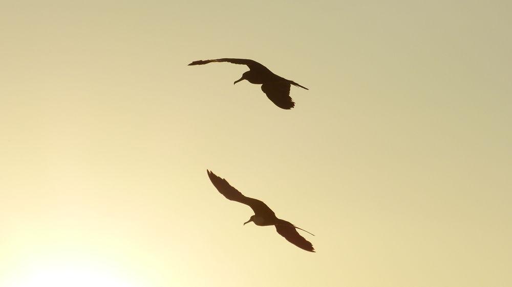 The flight mirrored of the frigatebird, or the flight of frigatebirds? by Glauco Rezende