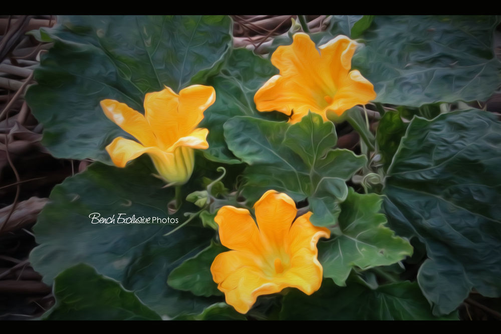 Pumkin Blossoms by Bench Bryan