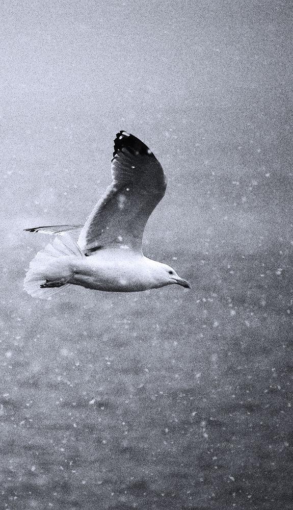 Photo in Animal #goéland #neige #mer
