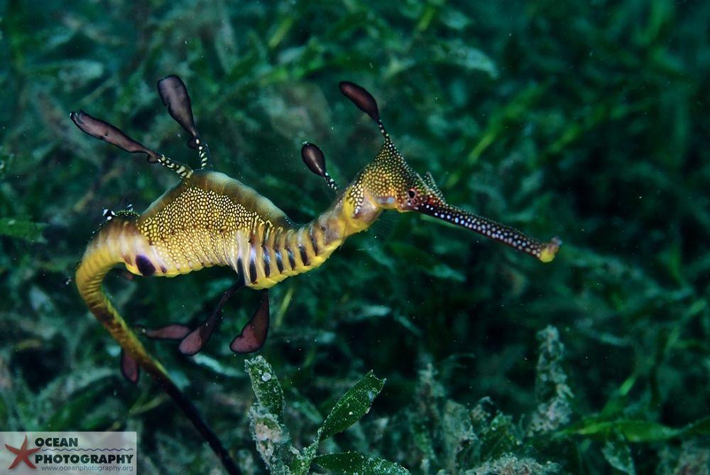 Weedy seadragon - dragons lair, Rapid Bay, South Australia by Oceanphotography