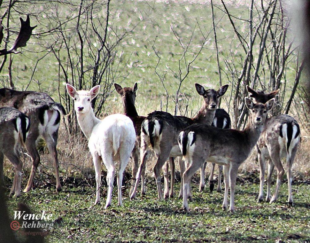 White Deer by Wencke Rehberg