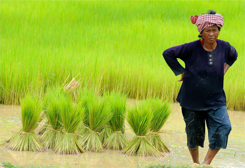 Photo in Journalism #rice #cambodia #woman #working #field #labor #green