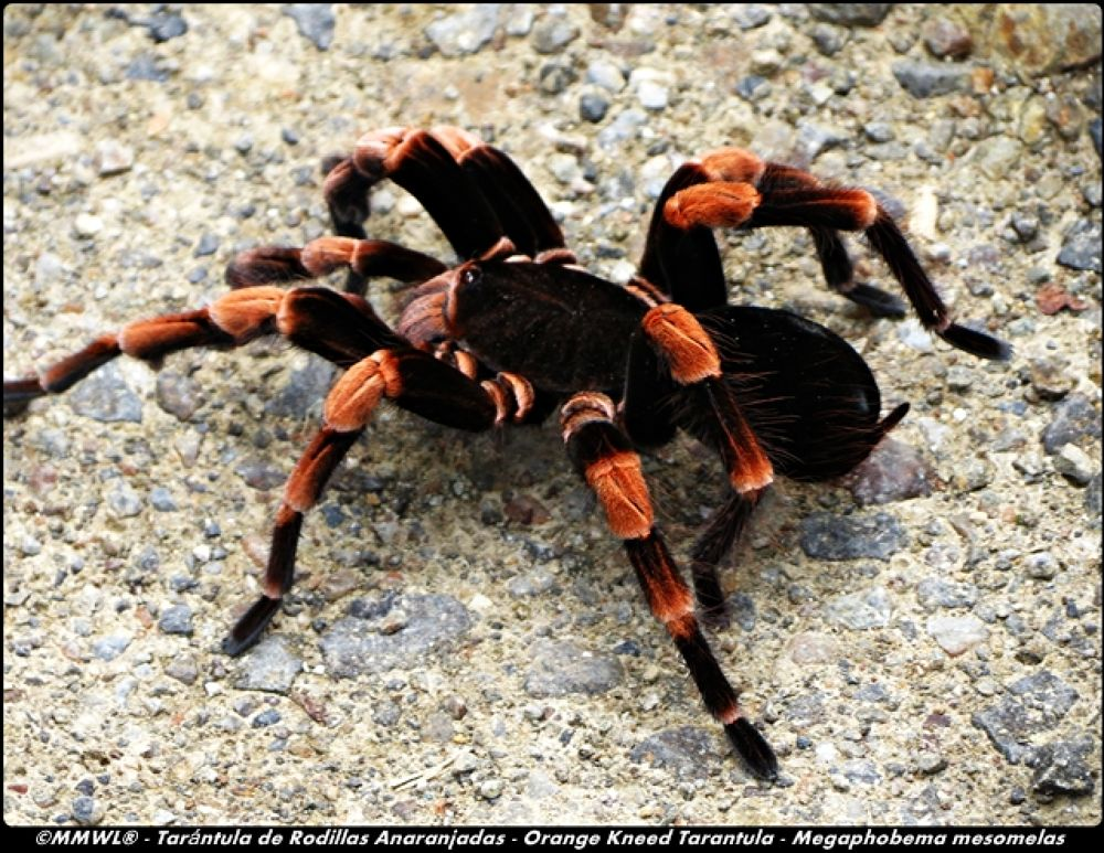 Orange Kneed Tarantula  by Mark Watson Lawrence