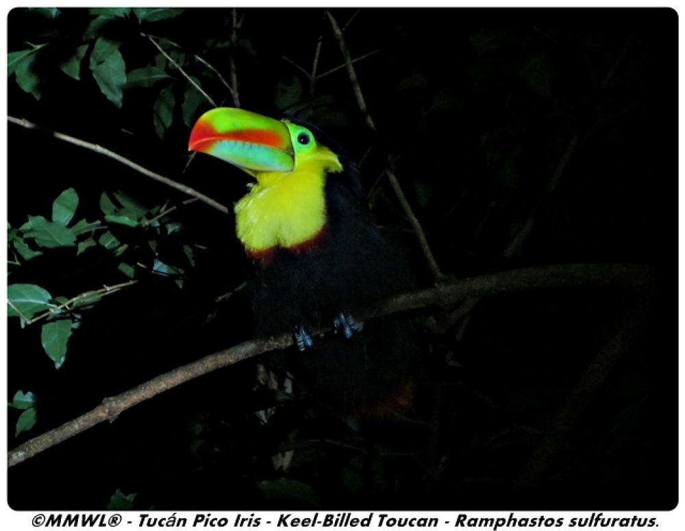 Keel Billed Toucan by Mark Watson Lawrence