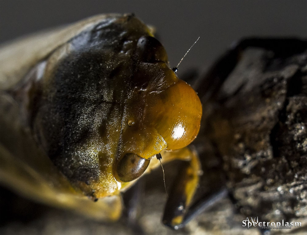 Photo in Macro #cicada #nature #insects #canon #canon eos m #eos m #bugs #close up #tree