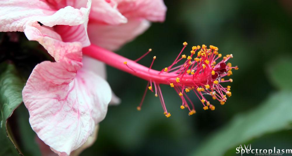 Photo in Macro #flowers #flower #pistil #leaf #stem #petal #bokeh #rose #pink #yellow