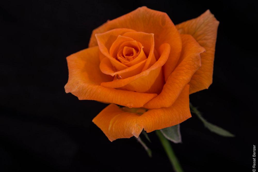 Orange Rose by Resat Benzer