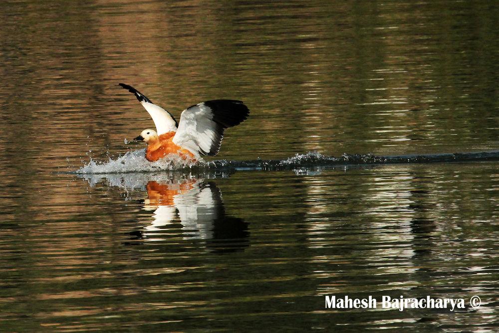 Landing... by Mahesh Bajracharya