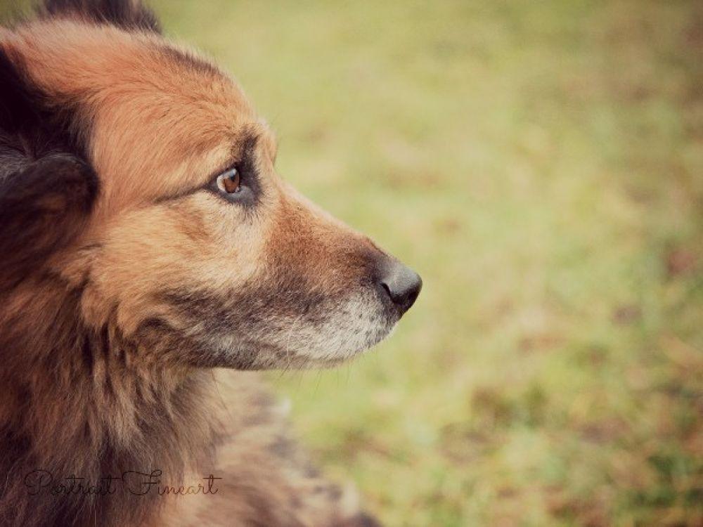 Shepherd dog Portrait by WH