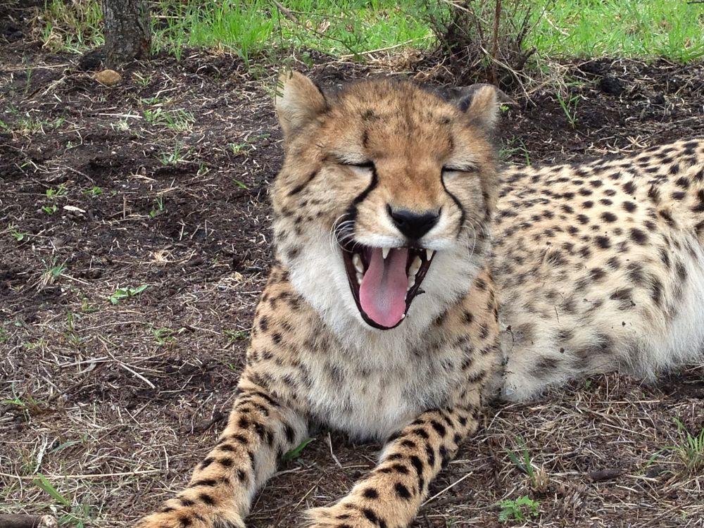 Photo in Animal #cheetah #wild life