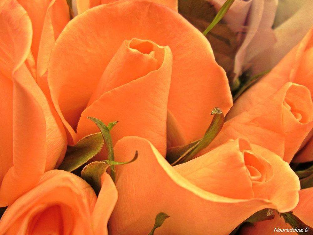 jolie roses! by Nour G