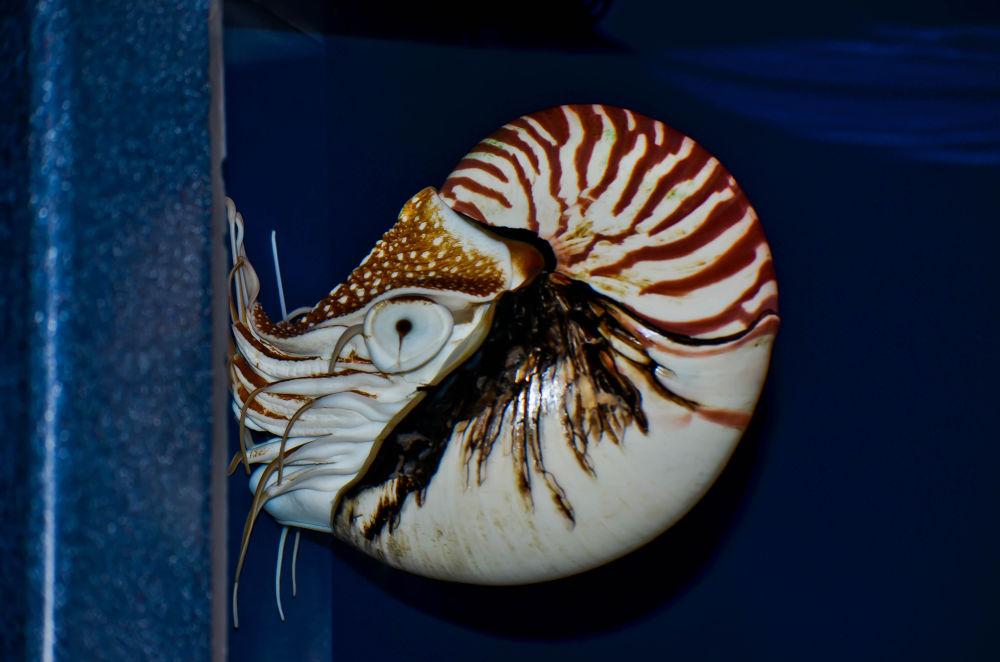 Photo in Animal #nautilus #light of luna photography #animals #aquarium #tennessee #ocean #sea #nautical