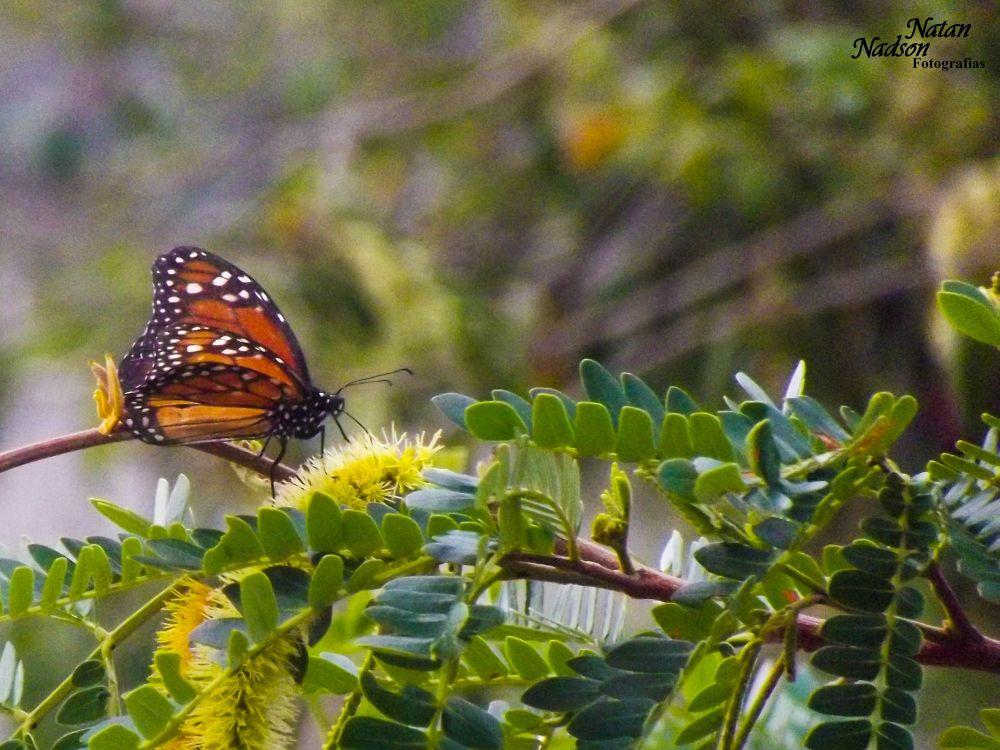 borboleta by Natan Nadson