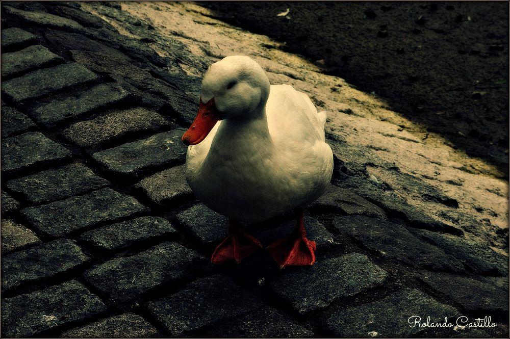 Photo in Random #duck #pato