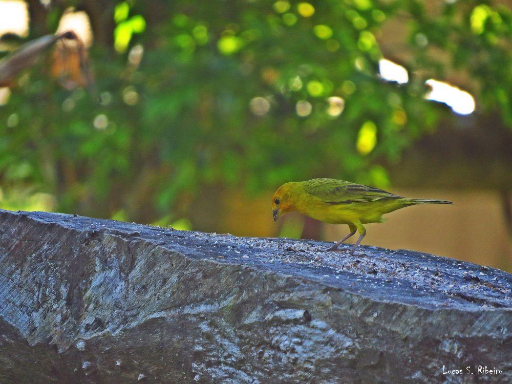 canary by Lucas Silveira Ribeiro
