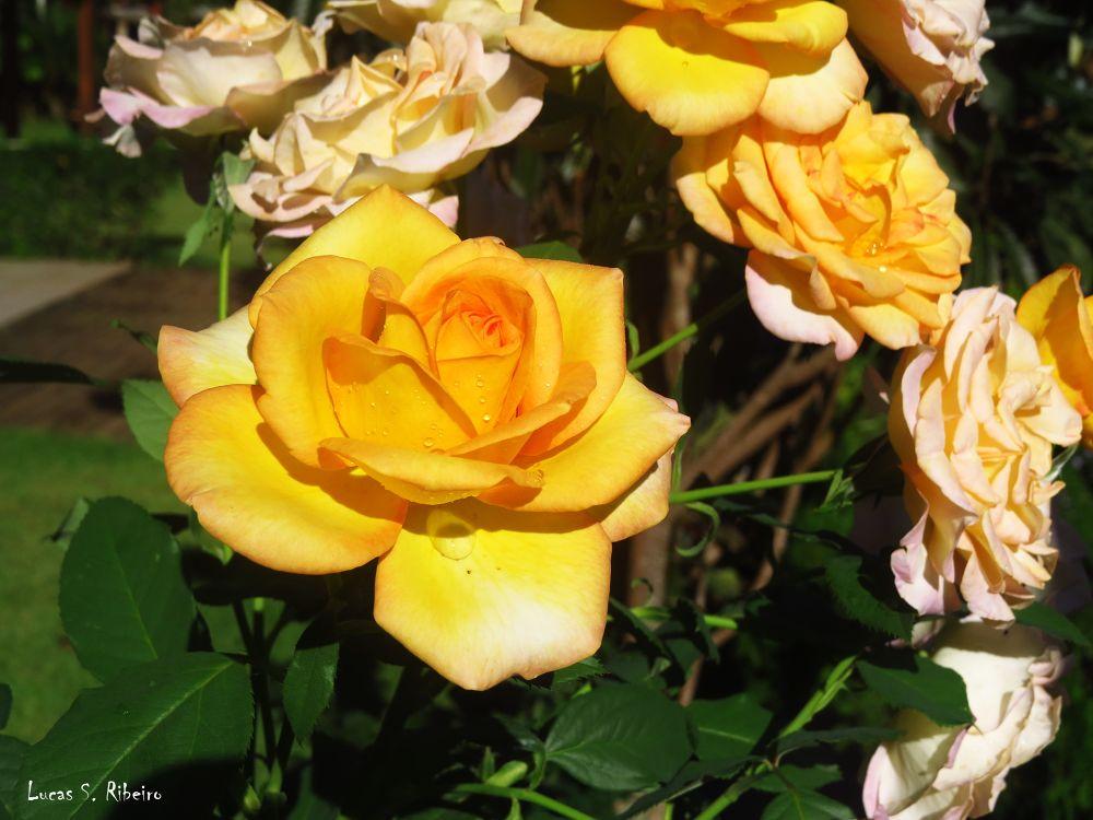 roses by Lucas Silveira Ribeiro