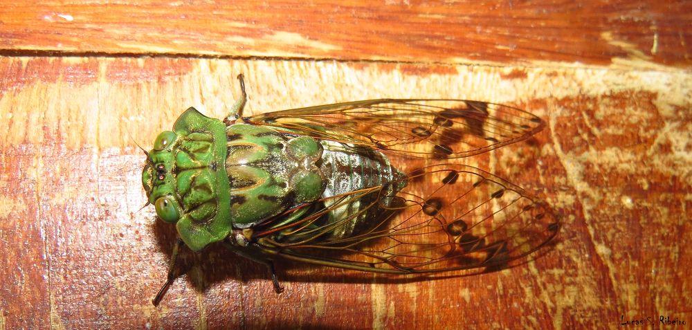 cicada by Lucas Silveira Ribeiro