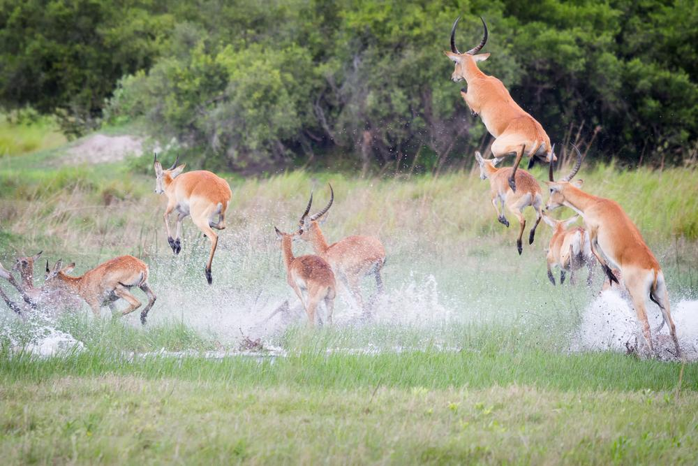 Photo in Random #letchwe #leap #leaping #africa #okavango delta #mammal #antelope #escape