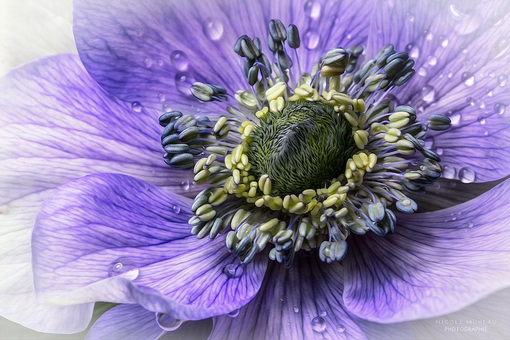 ~()~ Anemone by Taberia