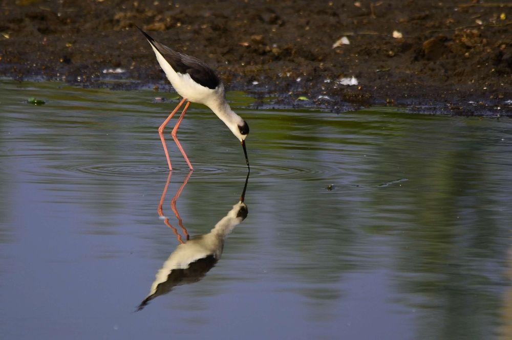 Black-winged stilt reflection by Abhijit ChakrabartiThakur