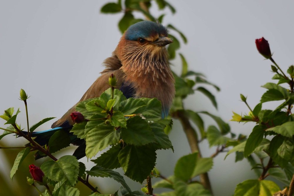 Indian Roller by Abhijit ChakrabartiThakur