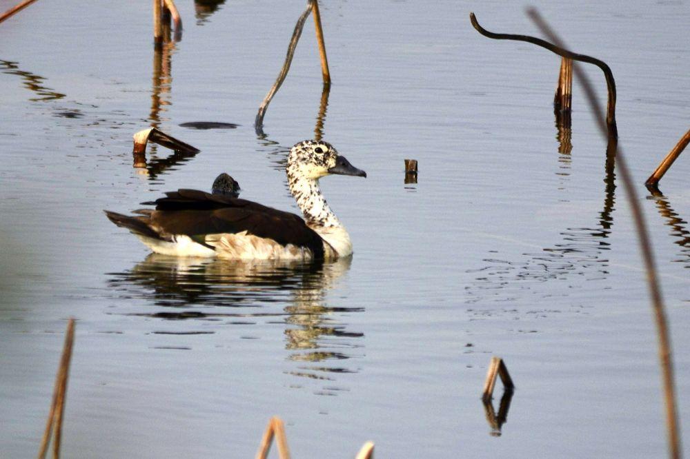 Comb Duck by Abhijit ChakrabartiThakur