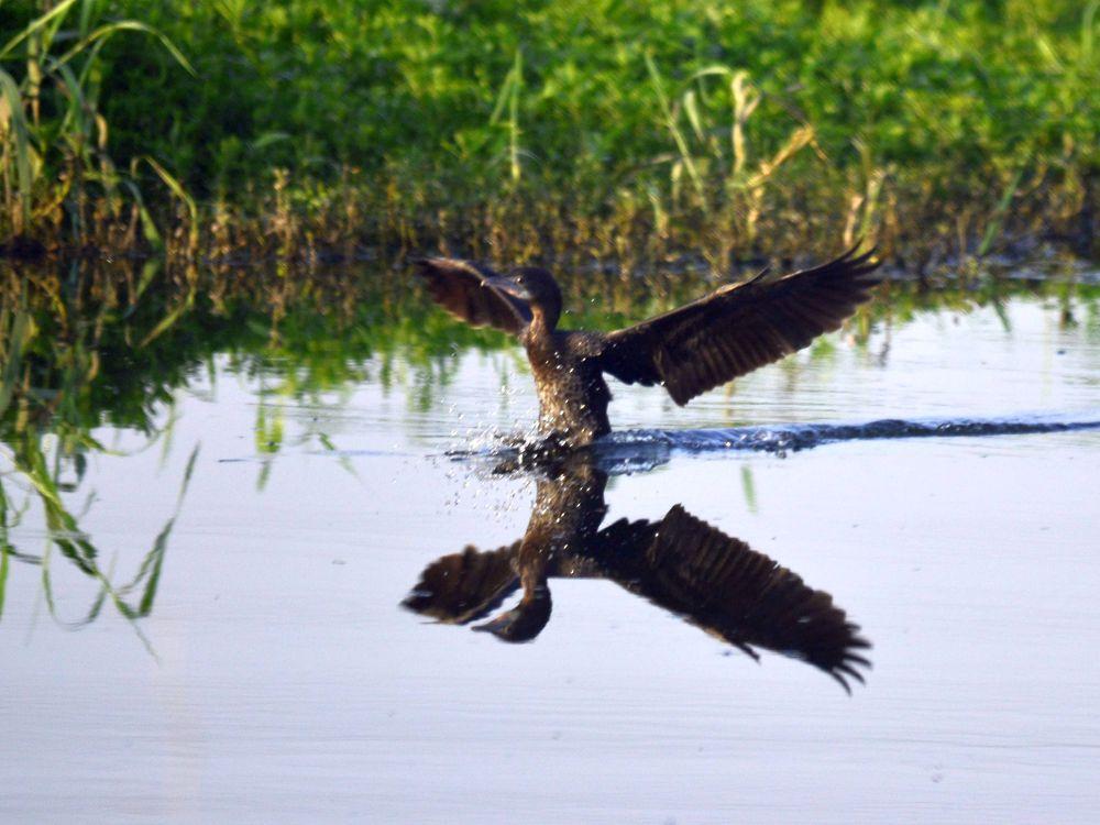 Cormorant by Abhijit ChakrabartiThakur