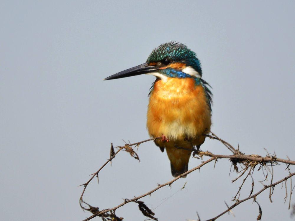 Common Kingfisher by Abhijit ChakrabartiThakur