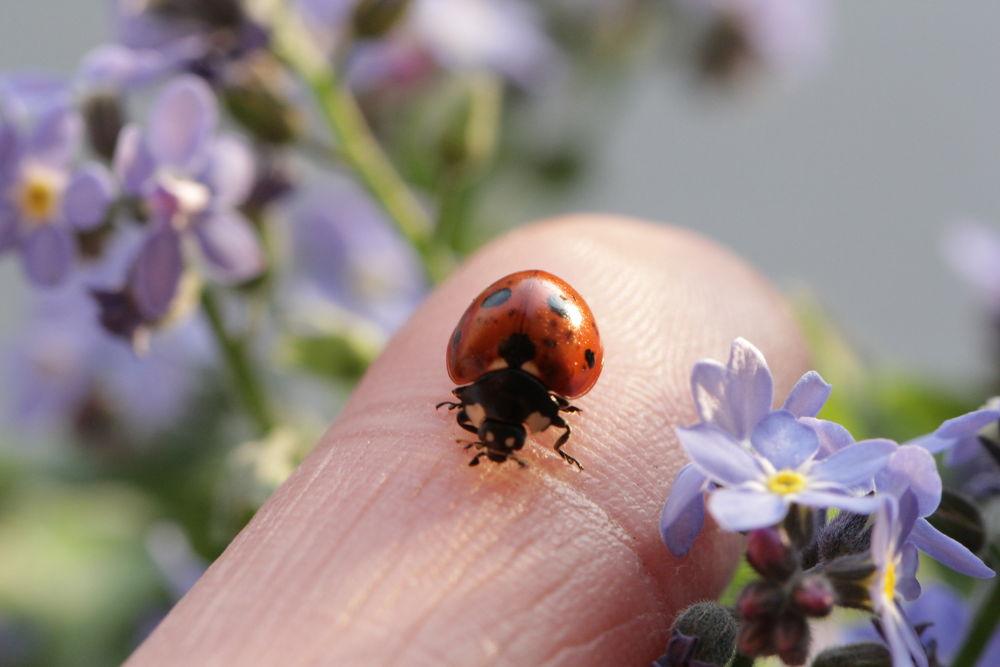 ladybug by Ralf Muhl
