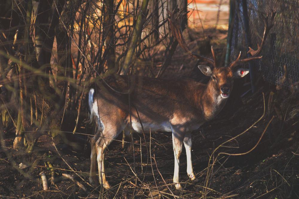deer by baris