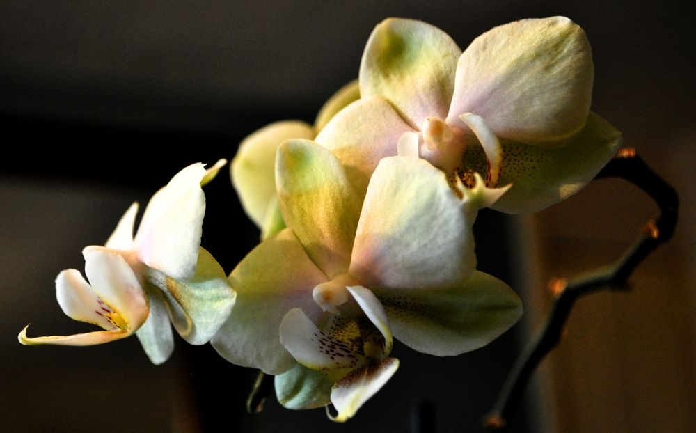 orchid3 by Lacey's