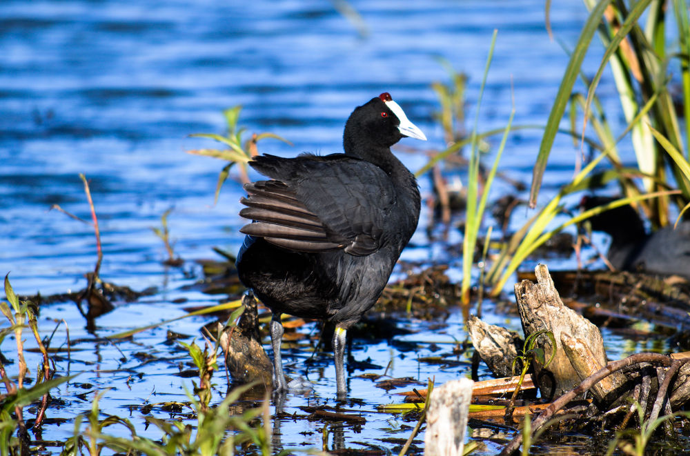 Red-Knobbed Coot by Marc Crowther