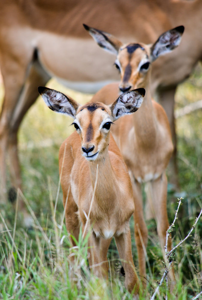 Photo in Animal #impala #babies #young #kruger #buck