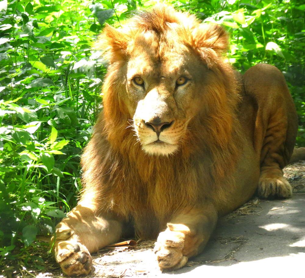 The jungle king by Trishila Chatterjee