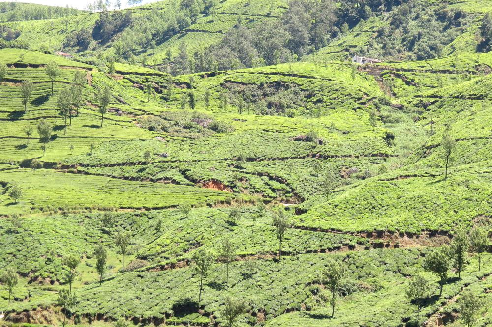 Photo in Landscape #green #nature #landscapes #teaestates #roads