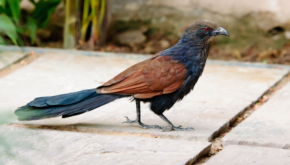 Crow Pheasant / Greater Coucal by Avtar Singh