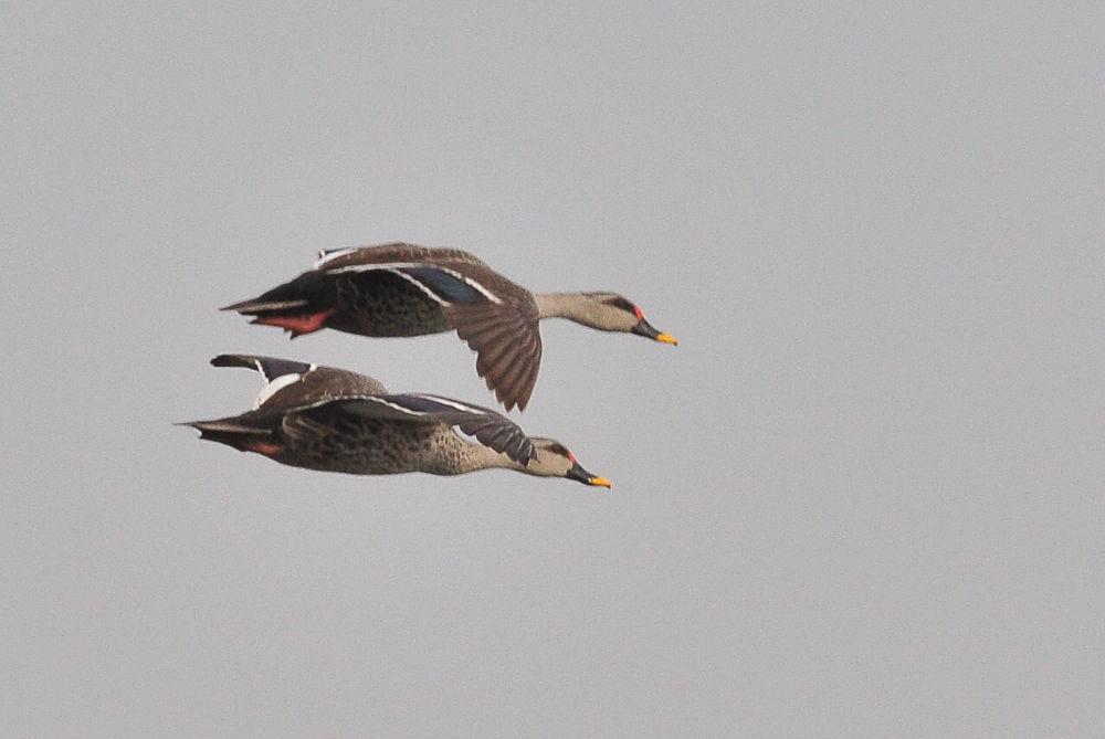 Flying Ducks ;-) by Avtar Singh